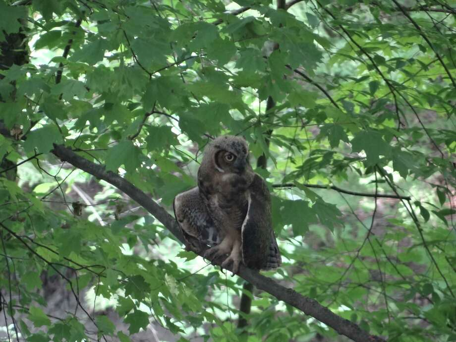 This is a juvenile great-horned owl that was spotted in the Colonial Acres neighborhood of Glenmont on July 17. (Alex Ruthman)