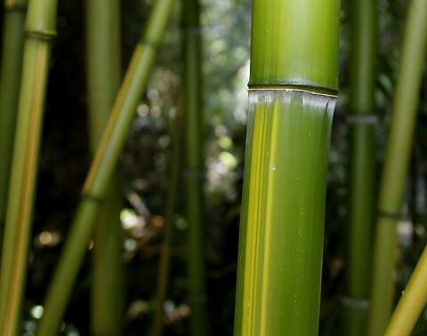 Bamboo is nature's own shoot-'em-up - SFGate