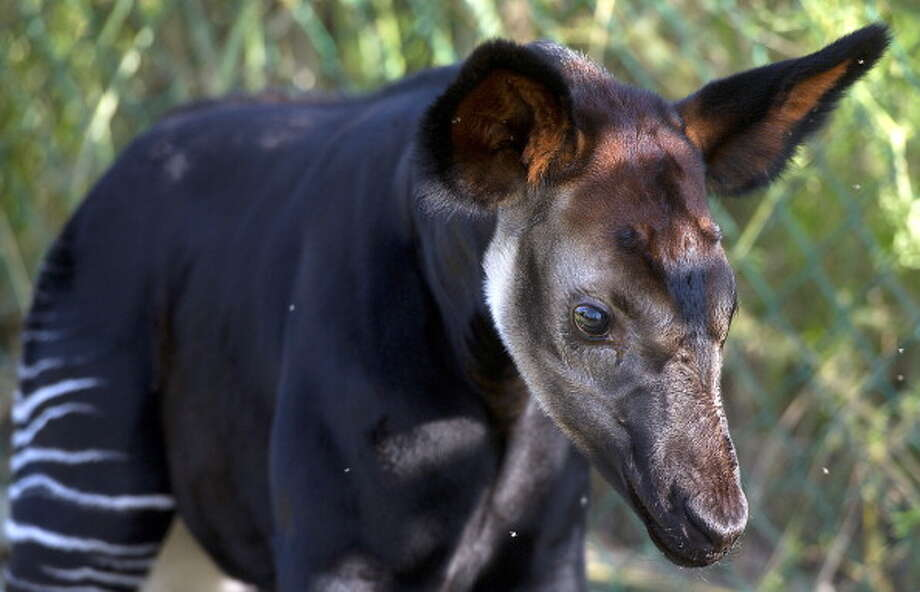 Okapi Photo: ALAIN JOCARD, AFP/Getty Images / 2013 AFP