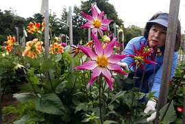Deborah Dietz works on a Midnight Star Dahlia plant Saturday July 24, 2010. The Dahlia Dell in San Francisco Golden Gate Park is in full bloom, drawing crowds from as far away as Sacramento. The flowers will bloom now through November and are located just steps away from the Conservatory of Flowers.