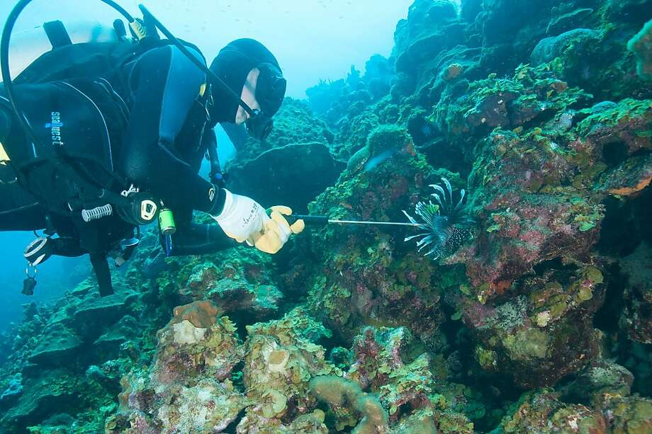 Bonaire, whose coastal waters have been a marine park since 1979, now encourages lionfish hunting with special spear guns to control the destructive nonnative species. Photo: Bruce Schnaak