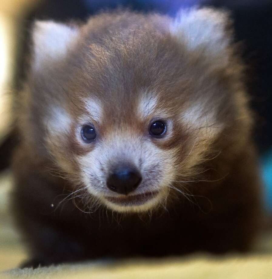 The new redhead at the zoo:The Sacramento Zoo has a new baby red panda. He's about 7   weeks old, as yet unnamed and slowly getting used to close-ups. Photo: Renee C. Byer, Associated Press
