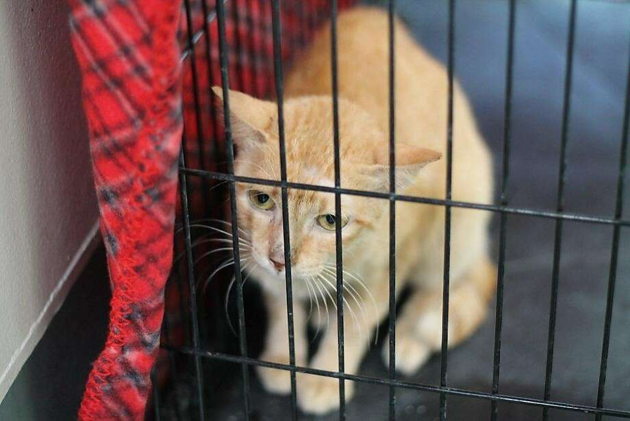 Pinay the stowaway:A cat dubbed Pinay is slowly regaining her health after nearly dying during a 7,300-mile voyage without food or water on a container ship. She apparently slipped onto the ship before it set sail from Manila to Los Angeles. Animal Care and Control in L.A. says she is getting stronger and gaining weight. Now she just needs to be adopted. Photo: Hopd, Associated Press