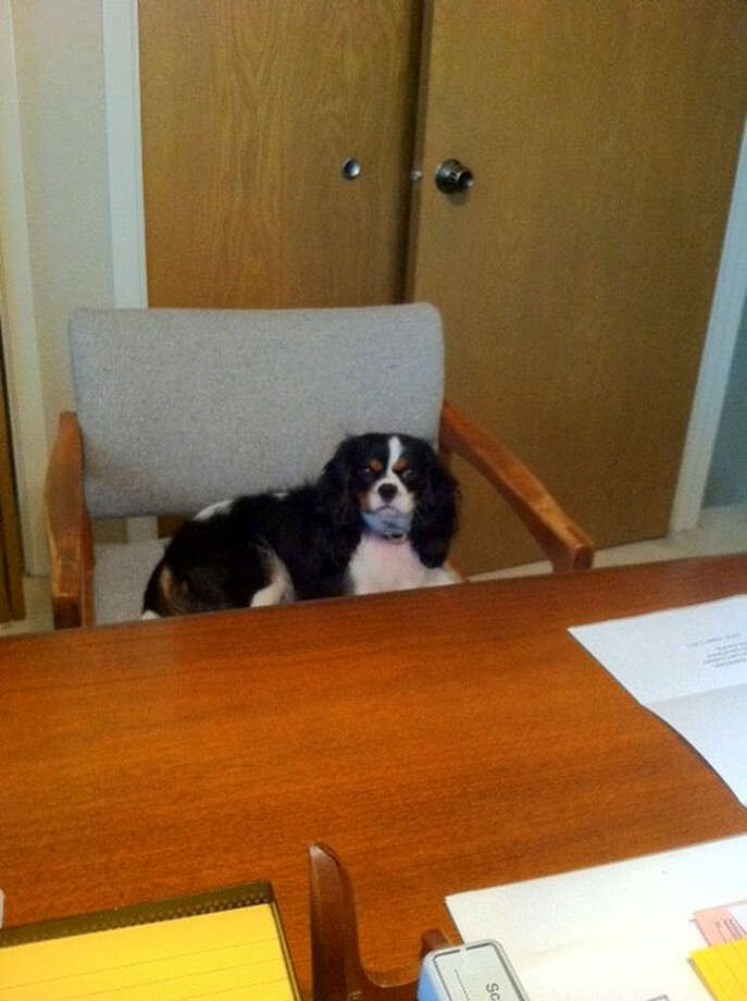 Willow, a three year old King Charles Cavalier Spaniel, comes to work with her owner at the Law Office of Don Saunders every day. Photo: Courtesy Of Suzanne S. Hildebrand