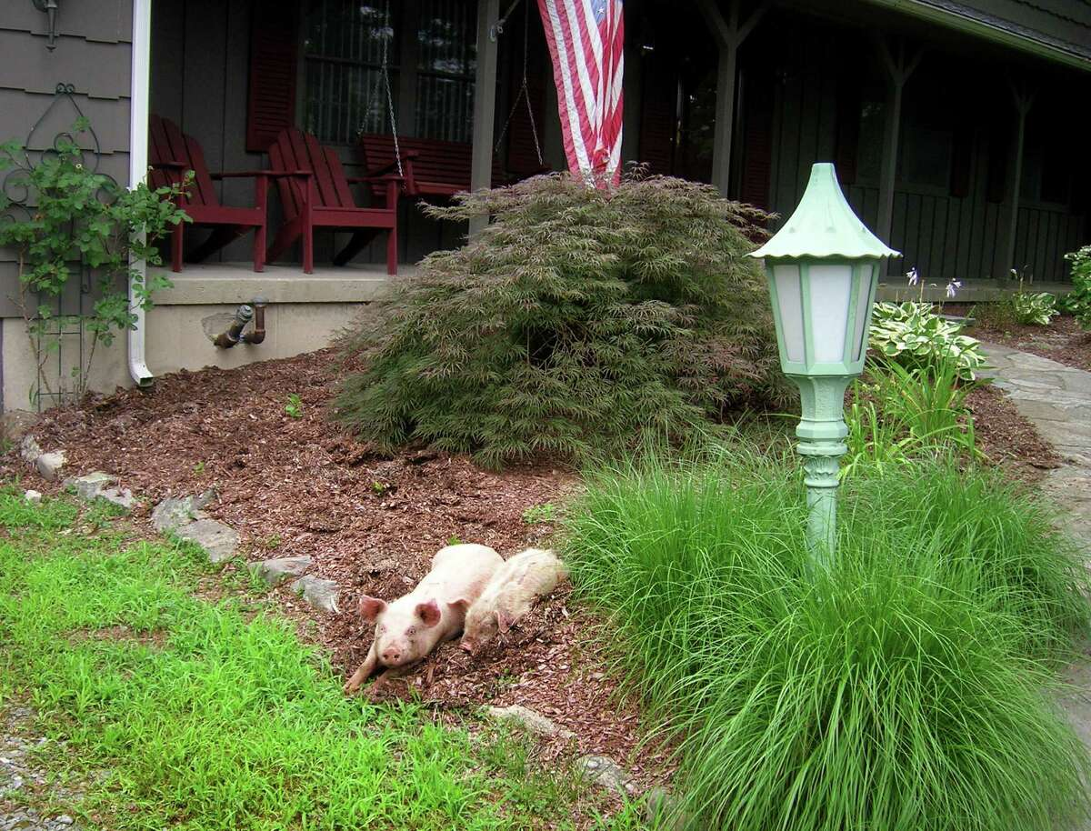 Frank Christiano found two marauding pigs digging up the mulch in front of his Old Coach Road house in Monroe, Conn. On Thursday July 24, 2013. Christiano has no idea where the roaming pigs came from, whether they belong to a farm or are somebody's lost pets.