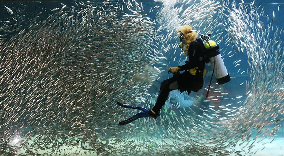 Summer school in session: A diver manipulates a school of sardines at the Coex Aquarium 