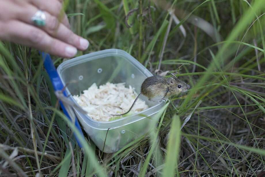 Now get out there and restore the eco-system! We're counting on you! Scientists from Lincoln Park Zoo release a meadow jumping mouse into the Rollins Savanna in Grayslake, Ill. The zoo is raising the mice in an effort to restore dwindling Midwestern prairies. Photo: Scott Eisen, Associated Press