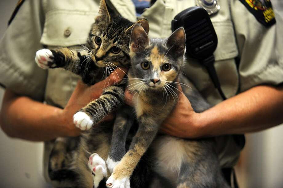 Now in custody at Greenwich Animal Control in Greenwich, Conn.: Tabby and Torty. Sure, you can adopt these hard cases - just remember, no toilet paper roll is safe when they're around. Photo: Helen Neafsey, Connecticut Post