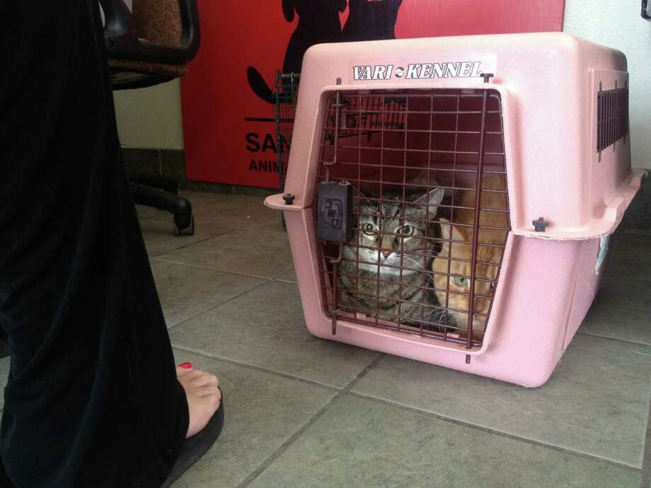 Two cats get dropped off in the ACS intake room by an elderly woman who says she found them in her neighborhood. Photo: Sarah Tressler/San Antonio Express-News