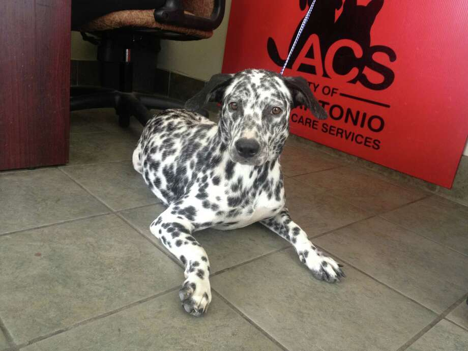 This Dalmatian mix was brought into ACS by a man who said he found her running the streets. Photo: Sarah Tressler/San Antonio Express-News
