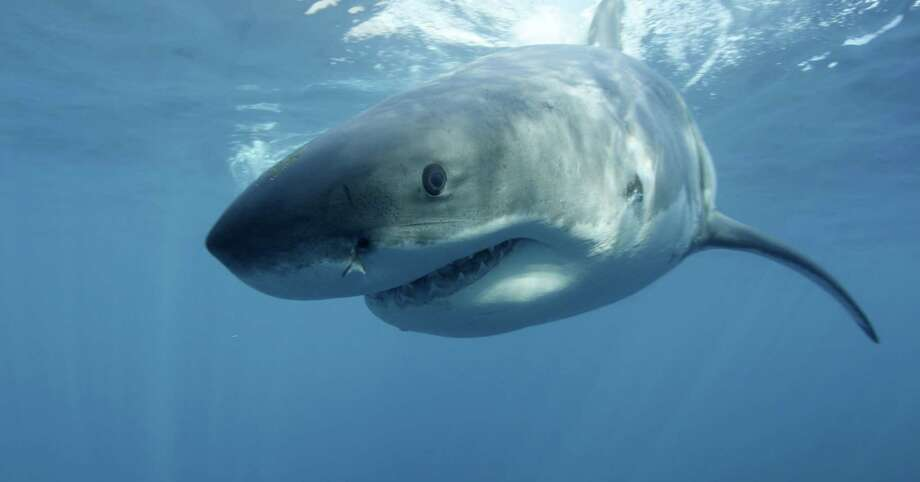This undated publicity image released by Discovery Channel shows a great white shark near Guadalupe Island off the coast of Mexico. hark Week begins Sunday, Aug. 4 at 9 p.m. EST on Discovery. (AP Photo/Discovery Channel, Andrew Brandy Casagrande) Photo: Andrew Brandy Casagrande, HOEP / Discovery Channel