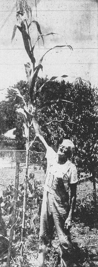 Paul Coan touches one of the corn stalks which is nearly 14 feet high in his back yard in the 800 block of Porter. Published in the San Antonio Light Aug. 23, 1968. Photo: File Photo