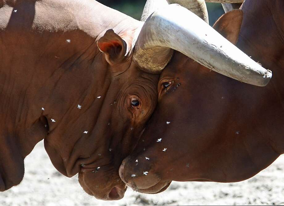 No, YOU move:Ankole-Watusi bulls lock horns in a dual for supremacy in their enclosure at the zoo in Duisburg, Germany. Photo: Horst Ossinger, AFP/Getty Images
