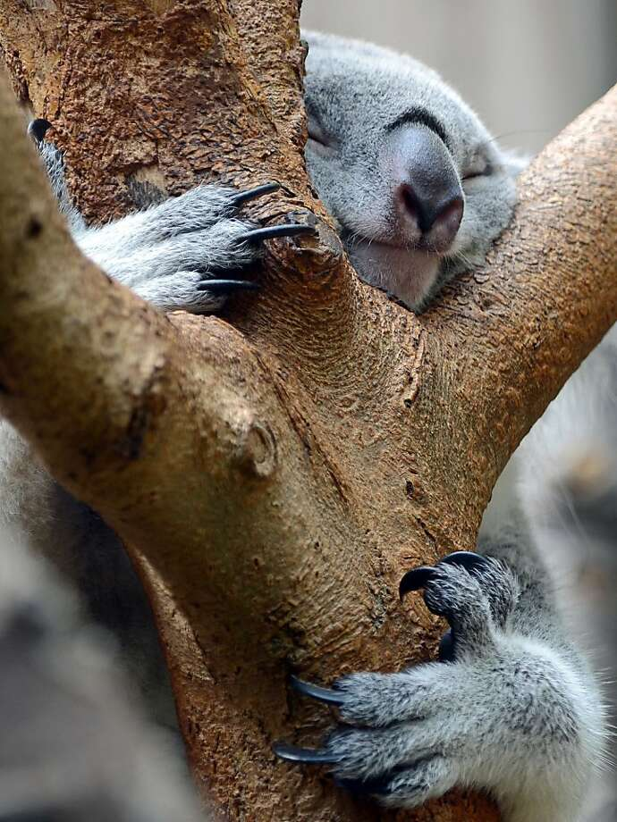 May I have this dance? Sharp claws sunk into bark keep a slumbering koala from tumbling out of a tree at the zoo in Duisburg, Germany. Photo: Horst Ossinger, Associated Press