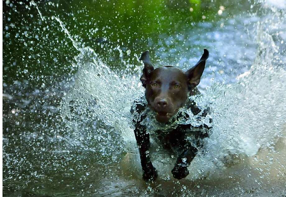 A Ruger runs through it: Ruger the dog dashes into Conococheague Creek on a hot day in Chambersburg, Pa. Photo: Markell_DeLoatch, Associated Press