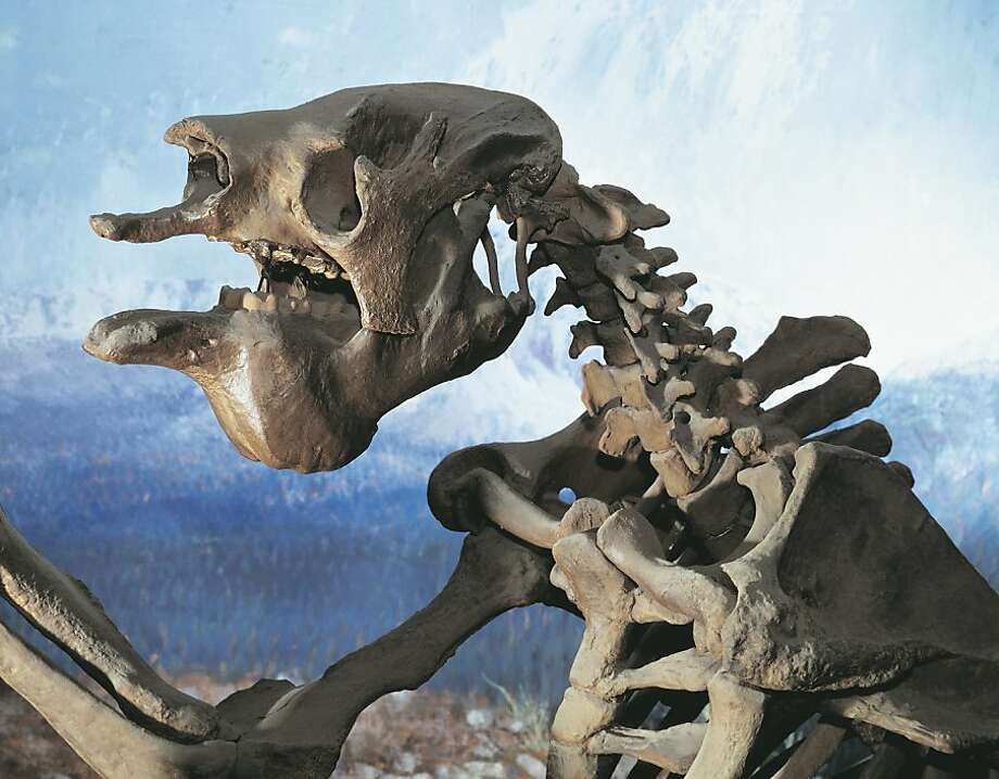 Bones of a Megatherium, or giant ground sloth, animals that once roamed the grassy plain that is now covered by the bay. Photo: Dea Picture Library, De Agostini/Getty Images