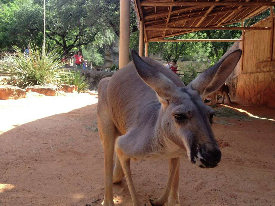 Kyeemah, a kangaroo who was hand-raised at the San Antonio Zoo, isn't shy about approaching people. Photo: Sarah Tressler / Express-News