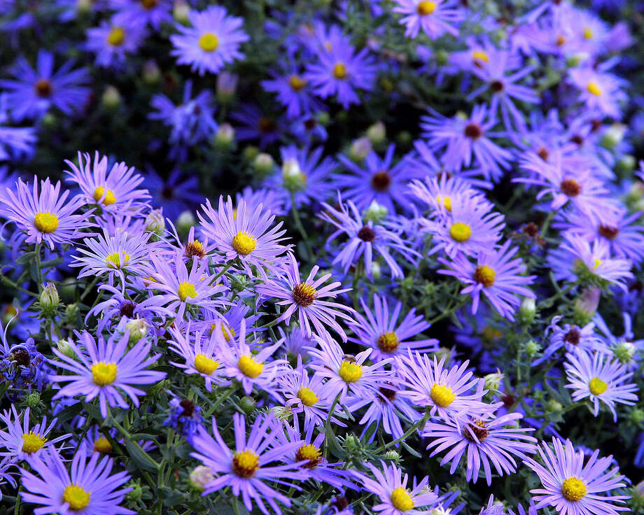 Plant fall aster in a dry, sunny spot for show-stopping blooms. Fall aster is one of two fall bloomers available now in nurseries. Photo: Associated Press