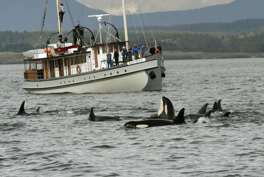 A report summarizes a decade of research on a particular group of Puget Sound killer whales. Photo: David Ellifrit, Associated Press
