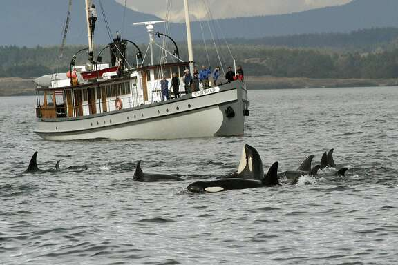 FILE - This undated image provided by the Center for Whale Research shows a whale-watching boat passing a pod of orca in Puget Sound, Wash. Killer whales that spend their summers in Puget Sound are a distinct population group and will remain protected under the Endangered Species Act, the National Oceanic and Atmospheric Administration announced Friday Aug. 2, 2013.(AP Photo/Center for Whale Research, David Ellifrit, file)
