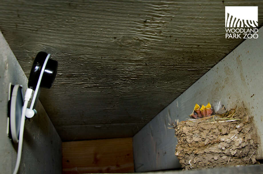 Recently hatched swallows greet the world at Woodland Park Zoo earlier this summer. Photo: Ryan Hawk, Ryan Hawk For Woodland Park Zoo / ©Ryan Hawk 2013