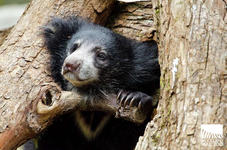 Sloth bear cubs at play earlier this summer at Woodland Park Zoo. Photo: Ryan Hawk, Ryan Hawk For Woodland Park Zoo / ©Ryan Hawk 2013