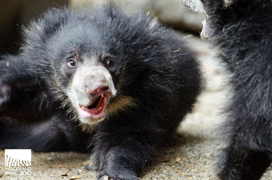 Sloth bear cubs at play earlier this summer at Woodland Park Zoo. Photo: Ryan Hawk, Ryan Hawk For Woodland Park Zoo / ©Ryan Hawk 2013