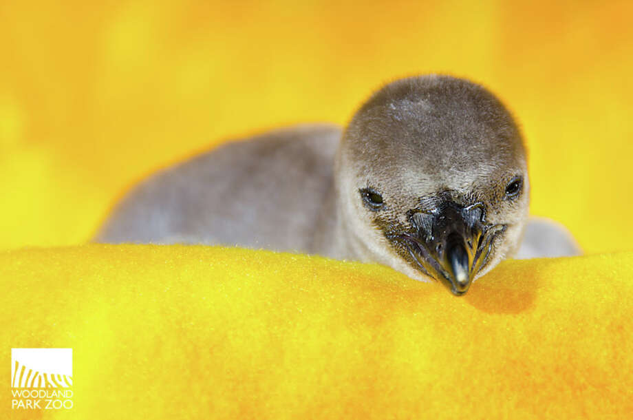 A penguin chick, pictured shortly after hatching earlier this summer at Woodland Park Zoo. Photo: Ryan Hawk For Woodland Park Zoo
