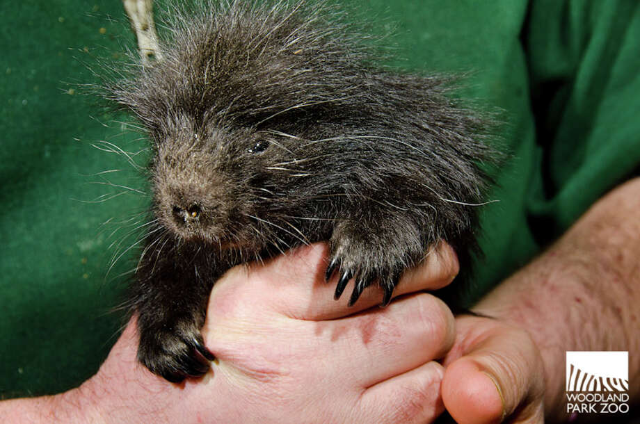 A day old porcupine pup pictured earlier this year at Woodland Park Zoo. Photo: Ryan Hawk For Woodland Park Zoo