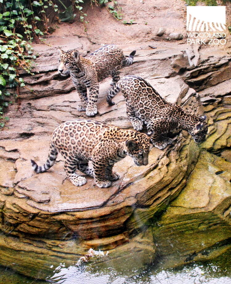 Woodland Park Zoo's baby jaguars are pictured at play earlier this summer. Photo: Ryan Hawk For Woodland Park Zoo