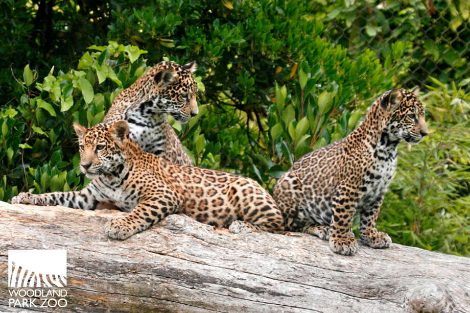 Woodland Park Zoo's baby jaguars are pictured at play earlier this summer. Photo: Unknown, Ryan Hawk For Woodland Park Zoo