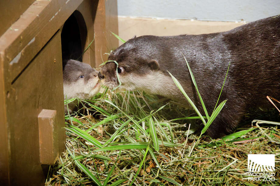 Four Asian small-clawed otter pups, born June 11, are getting ready for their public debut at Woodland Park Zoo. Photos of the little ones were released Friday by the zoo. Photo: Ryan Hawk, Ryan Hawk For Woodland Park Zoo