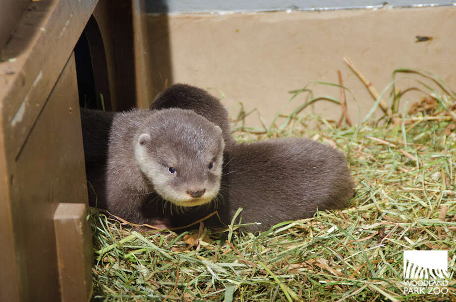 Four Asian small-clawed otter pups, born June 11, are getting ready for their public debut at Woodland Park Zoo. Photos of the little ones were released Friday by the zoo. Photo: Ryan Hawk, Ryan Hawk For Woodland Park Zoo / ©Ryan Hawk 2013