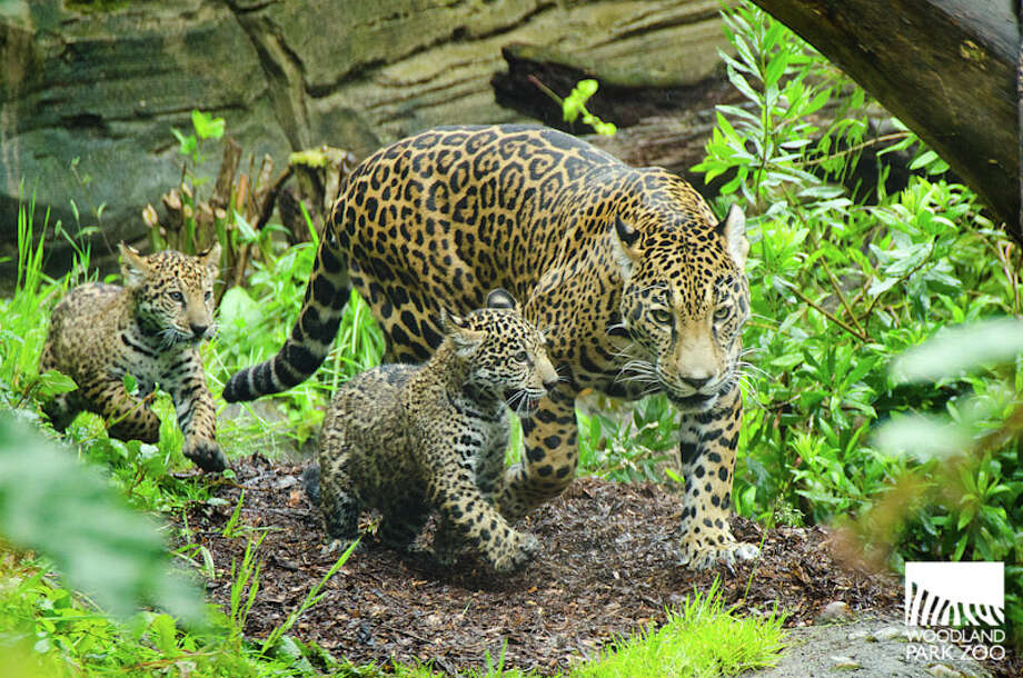 Woodland Park Zoo's baby jaguars are pictured at play earlier this summer. Photo: Ryan Hawk, Ryan Hawk For Woodland Park Zoo / ©Ryan Hawk 2013