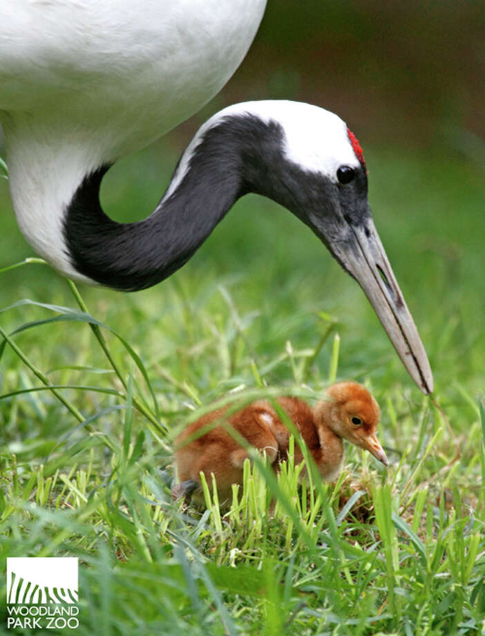 A male red-crowned crane chick born earlier this summer is pictured at Woodland Park Zoo. Photo: Dennis Dow For Woodland Park Zoo