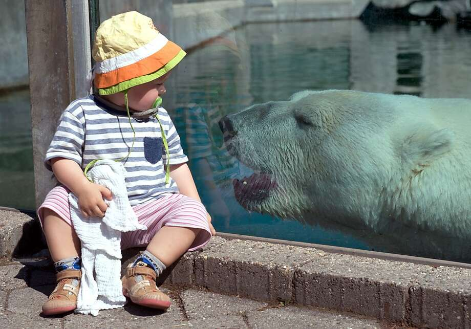 Look but don't eat: Thanks to strong glass at Zoo Wilhelma in Stuttgart, Germany, a polar bear can only gaze longingly at 2-year-old Laura. Photo: Marijan Murat, Associated Press