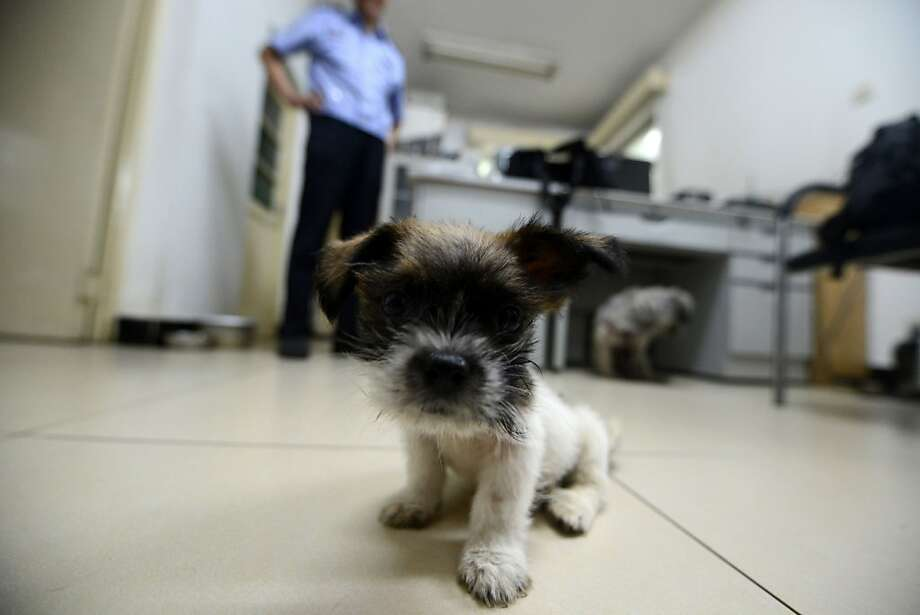 "The cop who loves dogs: This is one of dozens of canines saved by a Beijing policeman (background) who goes by the online nickname Xiao Hei. A crackdown on ""oversized"" and unregistered dogs has provoked panic among the capital's expanding ranks of pet owners and enraged China's emerging animal rights movement. Xiao has defied regulations to rescue dozens of pooches from the clutches of his fellow officers over the years. Photo: Wang Zhao, AFP/Getty Images"