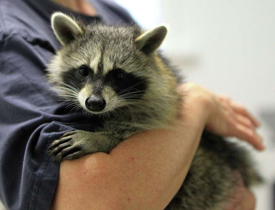 Sandy Dehaini holds one of three raccoons that she is rehabbing for the Friends of Texas Wildlife, Wednesday, July 24, 2013, in Magnolia, where they are overrun with wildlife being orphaned or injured due to explosive growth of Montgomery County.   ( Karen Warren / Houston Chronicle ) Photo: Karen Warren, Staff / © 2013 Houston Chronicle