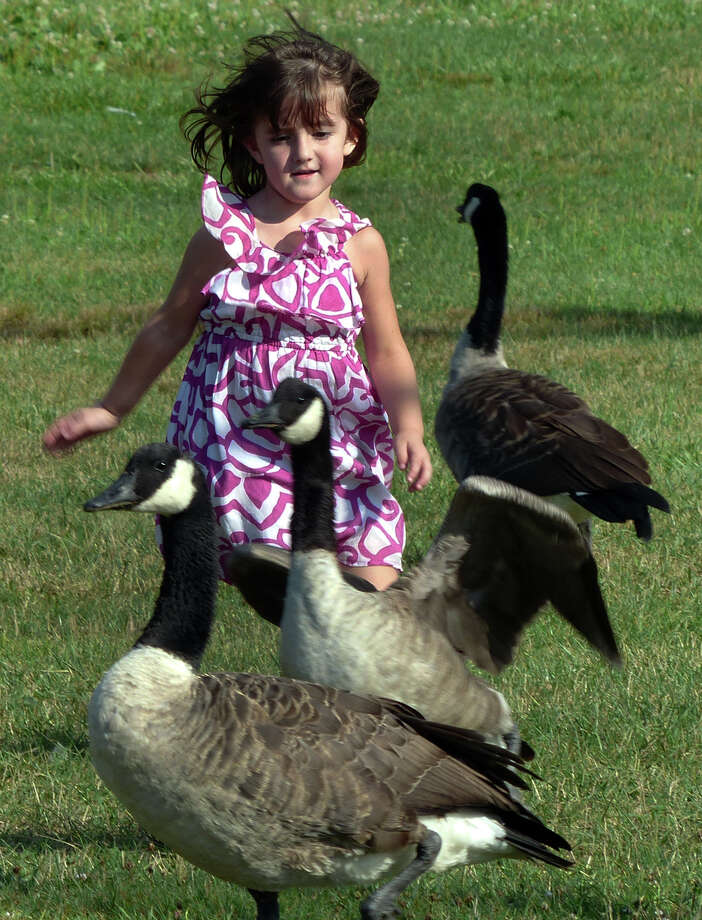 Mila Waters, 4, of Milford, chases away the geese as she plays at the playground behind the library in downtown Milford, Conn. on Friday August 2, 2013. Photo: Christian Abraham / Connecticut Post