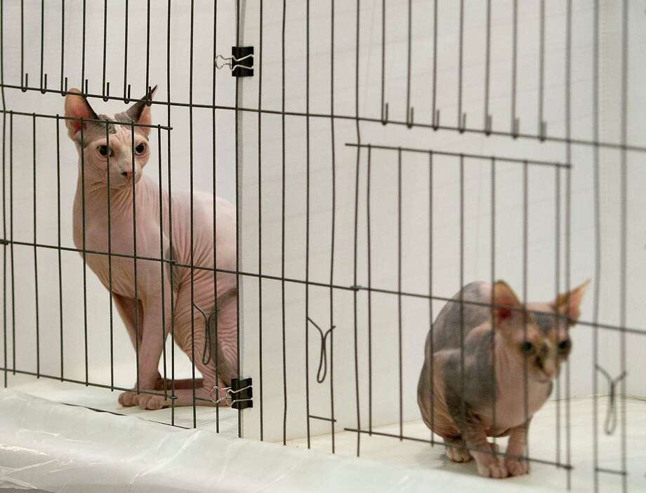 Sphynx cats sit in the judging area during the South Central Regional International Cat Show at the Houston Marriott North Saturday, Aug. 3, 2013, in Houston. Photo: James Nielsen, Houston Chronicle / © 2013  Houston Chronicle
