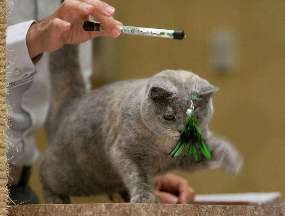 A British Shorthair during the judging at the South Central Regional International Cat Show at the Houston Marriott North Saturday, Aug. 3, 2013, in Houston. Photo: James Nielsen, Houston Chronicle / © 2013  Houston Chronicle