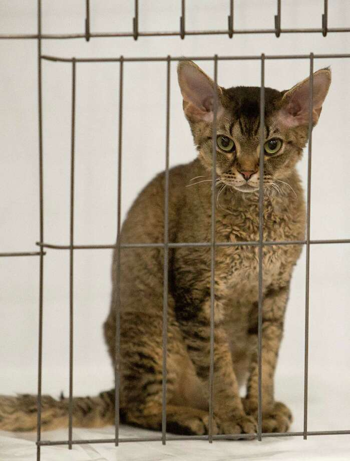 A Devon Rex kitten during the South Central Regional International Cat Show at the Houston Marriott North Saturday, Aug. 3, 2013, in Houston. Photo: James Nielsen, Houston Chronicle / © 2013  Houston Chronicle