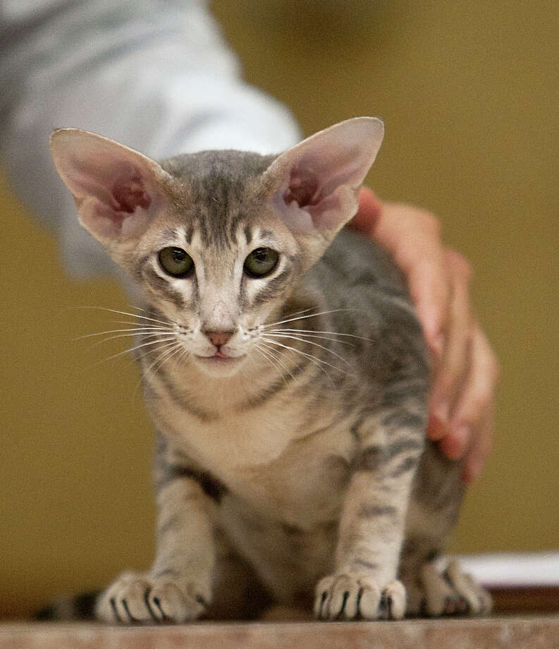 An Oriental Shorthair during the judging at the South Central Regional International Cat Show at the Houston Marriott North Saturday, Aug. 3, 2013, in Houston. Photo: James Nielsen, Houston Chronicle / © 2013  Houston Chronicle