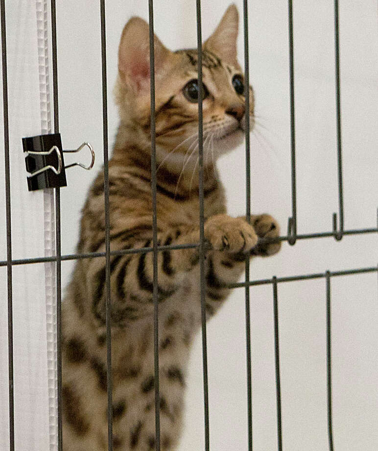 A Bengal kitten in the judging area during the South Central Regional International Cat Show at the Houston Marriott North Saturday, Aug. 3, 2013, in Houston. Photo: James Nielsen, Houston Chronicle / © 2013  Houston Chronicle
