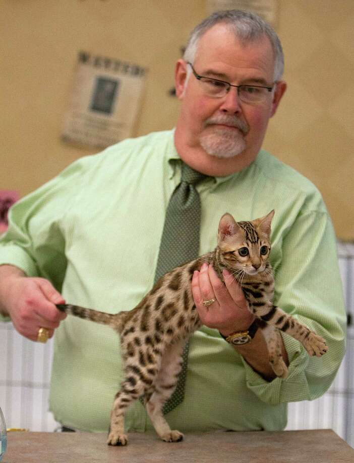 Richard Bailey judges a Bengal kitten the South Central Regional International Cat Show at the Houston Marriott North Saturday, Aug. 3, 2013, in Houston. Photo: James Nielsen, Houston Chronicle / © 2013  Houston Chronicle