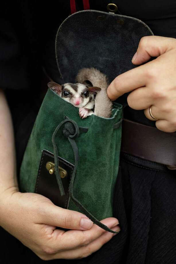 A sugar glider peeks out of a velvet sack at onlookers during The Washington Midsummer Renaissance Faire Saturday, August 3, 2013, at The Kelley Farm in Bonney Lake. The event continues August 10-11 and 17-18. Photo: JORDAN STEAD, SEATTLEPI.COM / SEATTLEPI.COM