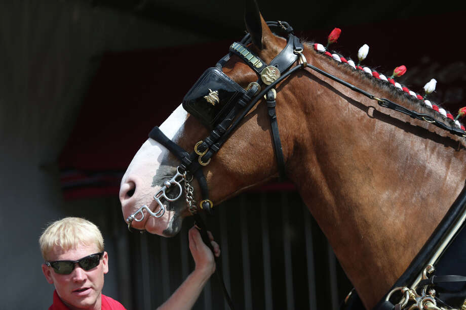 A Budweiser Clydesdale horse is shown. Photo: JOSHUA TRUJILLO, SEATTLEPI.COM / SEATTLEPI.COM