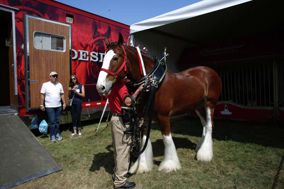 A Budweiser Clydesdale horse is shown at the annual Seafair Weekend. Photo: JOSHUA TRUJILLO, SEATTLEPI.COM / SEATTLEPI.COM