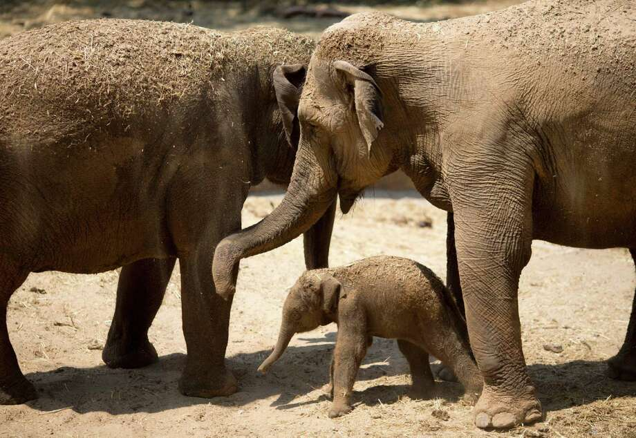 A newborn Asian elephant calf plays with its mother. Magnificent and mysterious, the complex creatures are on the verge of becoming extinct. Photo: Ariel Schalit, Associated Press / AP
