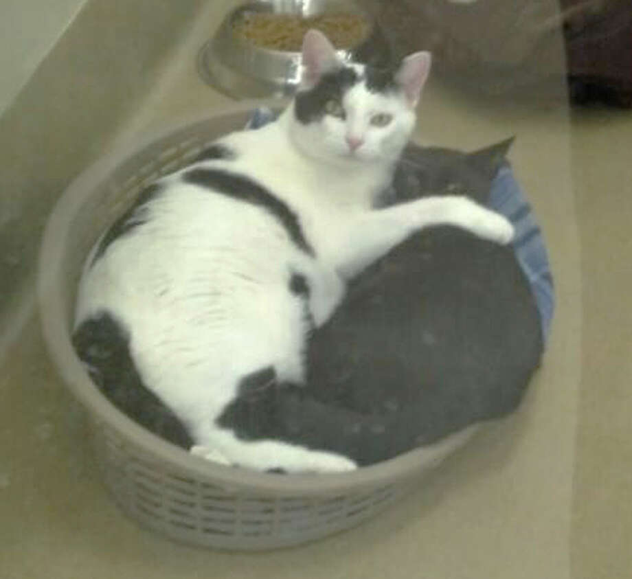 """Big John is a 3-year-old stray and Elvis, 1, was abandoned. The cats have become friends while living in the APF's """"Kitty Kabana"""" and would like to find a home together. (Marguerite Pearson)"""